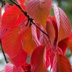 Autumn colours: cherry tree, Bantock Park (Dave_A_2007) Tags: autumn cherry leaf nature plant tree wolverhampton westmidlandscombinedauthority england