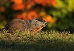 Farewell to Summer (Slow Turning) Tags: marmotamonax groundhog woodchuck rodent colours colors summer southernontario canada goldenhour