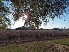 Field Of Cotton. (dccradio) Tags: dillon sc southcarolina dilloncounty tree treebranch branch branches treebranches treelimb treelimbs sun sunlight sunshine sky bluesky trees field cotton bolls cottonbolls grass lawn ground greenery scenic southern pretty nature natural beauty photooftheday photo365 project365 outdoor outdoors outside plant ag agriculture agricultural samsung galaxy smj727v j7v cellphone cellphonepicture