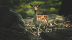 Fallow Deer (Simmie | Reagor - Simmulated.com) Tags: 2017 animals connecticut connecticutphotographer june landscape landscapephotography massachusetts nature naturephotography newengland newenglandcapecod outdoors southwickzoo unitedstates zoo ctvisit digital httpswwwinstagramcomsimmulated wwwsimmulatedcom mendon unitedstatesofamerica greatphotographers