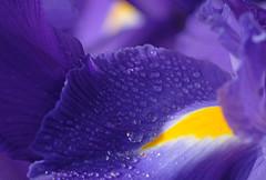 A study in blue (Maureen Pierre) Tags: blue spring macro iris flower garden plant fujifilm xt2