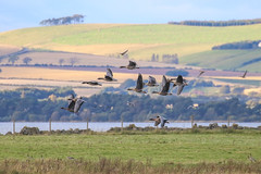 Pink Footed Geese (Dougie Edmond) Tags: kinross scotland unitedkingdom