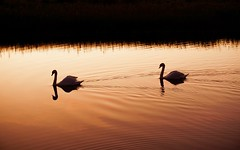 La parade des cignes (M. Carpentier) Tags: irlande cignes swans sunset sunrise birds oiseau leverdesoleil coucherdesoleil orange silhouette