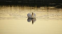 Dernière visite (M. Carpentier) Tags: irlande swan cigne jaune yellow beauty beauté coucherdesoleil sunset leverdesoleil sunrise oiseau bird shannon