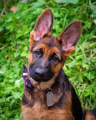 Boo Boo in his Bow Tie (s.d.sea) Tags: german shepherd dog puppy pnw pacificnorthwest washington washingtonstate wa pentax