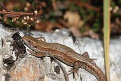 Common Lizard. (ChristianMoss) Tags: viviparous lizard zootoca vivipara reptile eppingforest common outside