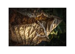 The Leaf and the Feather (My digital Gallery) Tags: leaf feather brown botanicalgarden vienna austria eu autumn fall braun green grün feder stilllife strilleben