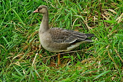 Greater White-fronted Goose, Snoqualmie Valley, WA 10/12/19 (LJHankandKaren) Tags: sikeslake snoqualmievalley goose greaterwhitefrontedgoose