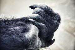Hands. (marfis75) Tags: abend city belgique belgie stadt antwerp antwerpen anvers belgien hafenstadt canon zoo cc creativecommons flandern eos450d marfis75 black detail hands hand gorilla finger ape handshake hände affe pray praying amen beten