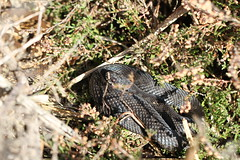 Adders (ChristianMoss) Tags: adder snake reptile uk vipera berus melanistic black