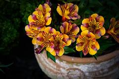 Alstromoeria in pot (judy dean) Tags: judydean 2019 autumn flowers pot alstromoeria orange