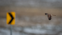 Follow the Arrow (airboy123) Tags: americankestrel