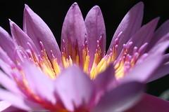 Water Lily (emeraldimp) Tags: kona hawaii hawaii2019 2019 october october2019 paleakupeacegarden flower lily waterlily pink purple
