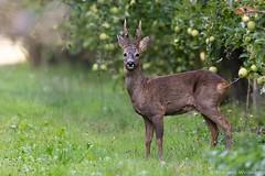 Brocard (Morgane_W) Tags: chevreuil roedeer capreoluscapreolus cervidé faune sauvage wildlife nature canon80d tamron150600 buck