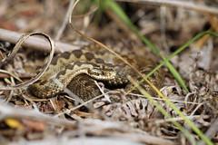 Beautiful female. (ChristianMoss) Tags: adder snake reptile uk vipera berus