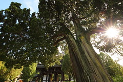 Standing giant timber at the garden of old temple (Teruhide Tomori) Tags: 東福寺 京都 日本 禅寺 木造建築 寺院 tofukuji temple kyoto japan japon architecture building construction wooden zentemple tree エノキ chinesehackberry timber