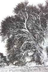 Cottonwoods4-Edges (kfwckcda23) Tags: cottonwood tree filter bw