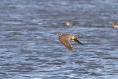 Merlin (Falco columbarius) (dbarlow) Tags: falcocolumbarius merlin raptor bird teesside rsbpsaltholme