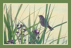 Female Red-winged Blackbird in the Reeds (imageClear) Tags: bird nature redwingedblackbird reeds female sheboyganwisconsin aperture nikon d600 80400mm imageclear flickr photostream