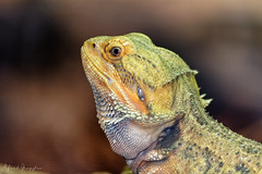 The Man Of The Day (Alfred Grupstra) Tags: reptile animal nature lizard wildlife closeup iguana dragon animalscale vertebrate pets animalsinthewild reptiles tropicalclimate animalskin animaleye greencolor oneanimal livingorganism looking