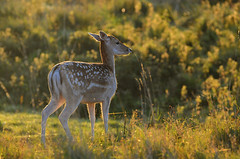 Sunny Morning Doe (andy_AHG) Tags: wildlife autumn stag fallowdeerbuck antlers animals nikond300s yorkshire