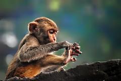 Playing with Fingers (sajalharshit) Tags: monkey babymonkey playingwithfingers fingers sajalharshit brown yellowandgreen nikond3500 manual cute wildlife nature naturephotography