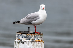 Silver Gull on a post (Merrillie) Tags: woywoy natural waterfront gull nature water birds newsouthwales nsw brisbanewater wildlife seagull silvergull australia bird animals outdoors sunlight fauna centralcoast bay coastal