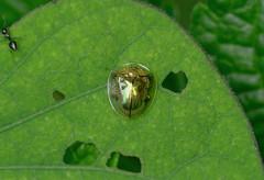 Tortoise Beetle to be identified (creaturesnapper) Tags: panama insects coleoptera chrysomelidae tortoisebeetles cassidinae beetles
