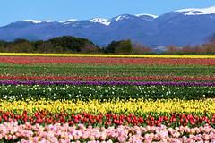 P1000719 (alainazer) Tags: lurs provence france fiori fleurs flowers fields champs ciel cielo sky colori colors couleurs tulipani tulipes tulips