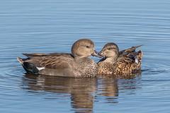 Gadwall Pair (Glenn.B) Tags: nature wildlife somerset naturereserve rspb hamwall someretlevels duck gadwall bird water waterfowl avian wildfowl
