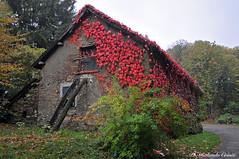 Colori d'autunno _004 (Rolando CRINITI) Tags: autunno rosso piampaludo edera ederarossa canadese paesaggi natura