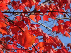 Sunday Greetings: A colourful Autumn series (+4) (peggyhr) Tags: bc canada peggyhr autumn red blue sky leaves maple dsc08771 dedication thecariboo rainbowofnaturelevel1red rainbowofnaturelevel2orange hotcolors~