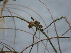 IMG_1137 (jesust793) Tags: pájaros birds naturaleza nature