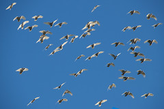 Long-billed Corellas take to the Sky (Merrillie) Tags: flock spring waterfront bay birds mangroves springtime woywoy water wildlife trees parrots corellas newsouthwales many animals fauna flying australia channel longbilledcorellas
