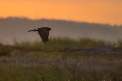 Harrier at dawn (Tim Melling) Tags: northern harrier ringtail circus hudsonicus canada british columbia timmelling