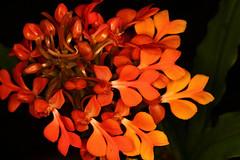 Habenaria Orange-Yellow (HandsOff) Tags: yellow orange habenaria orchids thailand southeastasia terrestrialorchid liveoakgrange