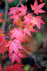 Fall colours (Patricia Buddelflink) Tags: garden autumn nature tree maple