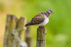 Turtle dove: Bird of the year 2020 (Germany) (hardy-gjK) Tags: dove taube turteltaube turtledove bird vogel oiseau wildlife hardy nikon natur nature la tourterelle e pigeon
