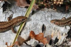 Face to face. (ChristianMoss) Tags: viviparous lizard zootoca vivipara reptile eppingforest common outside