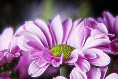 Lovely (Michael Schönborn) Tags: nx500 nx50200f456 samsung focusstacking stacked macro makro closeup pink pastel plant bouquet