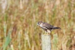 Merlin (Falco columbarius) (dbarlow) Tags: falcocolumbarius merlin teesside rspbsaltholme raptor bird falcon