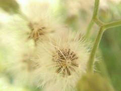 Macro (Yuvi vyas) Tags: macro white flower samsung wallpapers dandelion nature outside amazing october