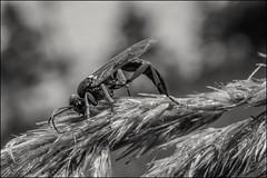 7_DSC7615 (dmitryzhkov) Tags: life russia moscow animal wildlife monochrome documentary reproduction bw macro macrophotography closeup bee wasp hymenoptera nature bwnature dmitryryzhkov blackandwhite hunter victim hunt
