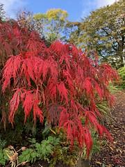 Autumnal shades (markshephard800) Tags: scotland barshawpark paisley autumn autumnal red maple