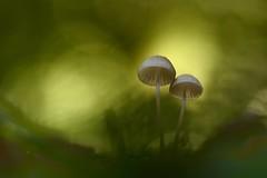 IMG_5710 -- Beauté d automne (mycéne) (mp mapa) Tags: nature yvelines france proxi foret mycene champignon automne