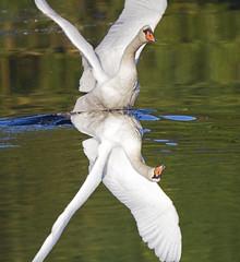 reversed swan -  Riverside Valley Park, Exeter, Devon - Sept 2019 (Dis da fi we) Tags: riverside valley reversed swan park exeter mute cygnus olor