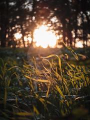 (Patryk Rejdych) Tags: polska poland sony sonyrx100 sonyalpha park forest sun sunrise grass nature bokeh