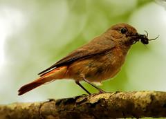 Redstart   (Phoenicurus phoenicurus) (minvallaa) Tags: redstart female new forest woodland summer migrant oak wood