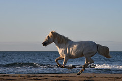 Camargue-3 (philippeprovost1) Tags: camargue cheval galop mer sable course blanc nikon lumière soleil plage vitesse speed paard horse