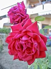 Rosa campana. (sangiopanza2000) Tags: rosa rose sangiopanza fiori flowers
